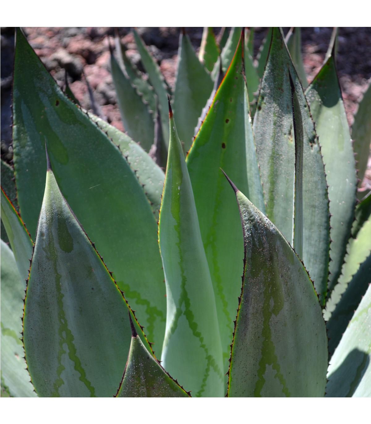 Agáve - semená agáve - 10 ks - Agave marmorata