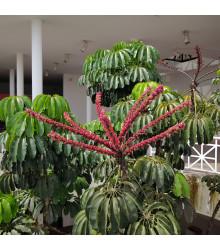 Šeflera actinophylla- semená - 6 ks - Schefflera actinophylla