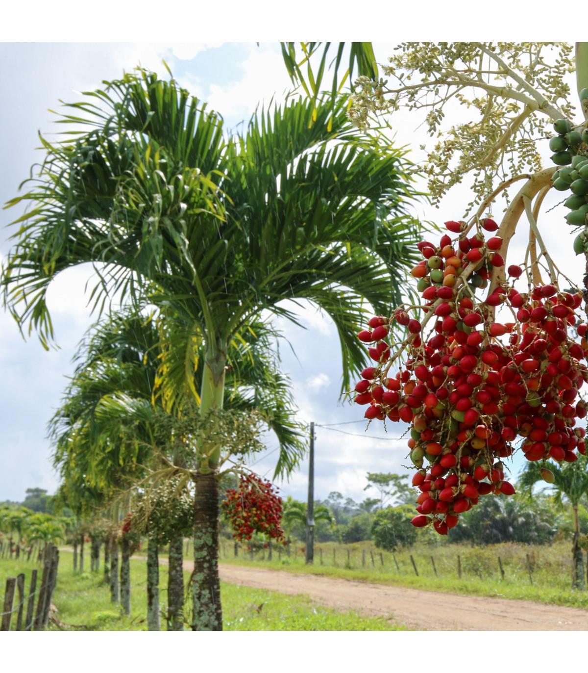 Palma vianočná - semená Palmy - Adonidia merrillii - 2 ks