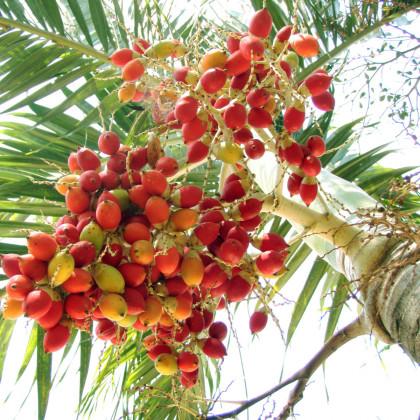 Palma Carpentaria Acuminata - semená palmy - 4 ks