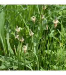 Skorocel kopijovitý - semená - 0,2 gr - Plantago lanceolata