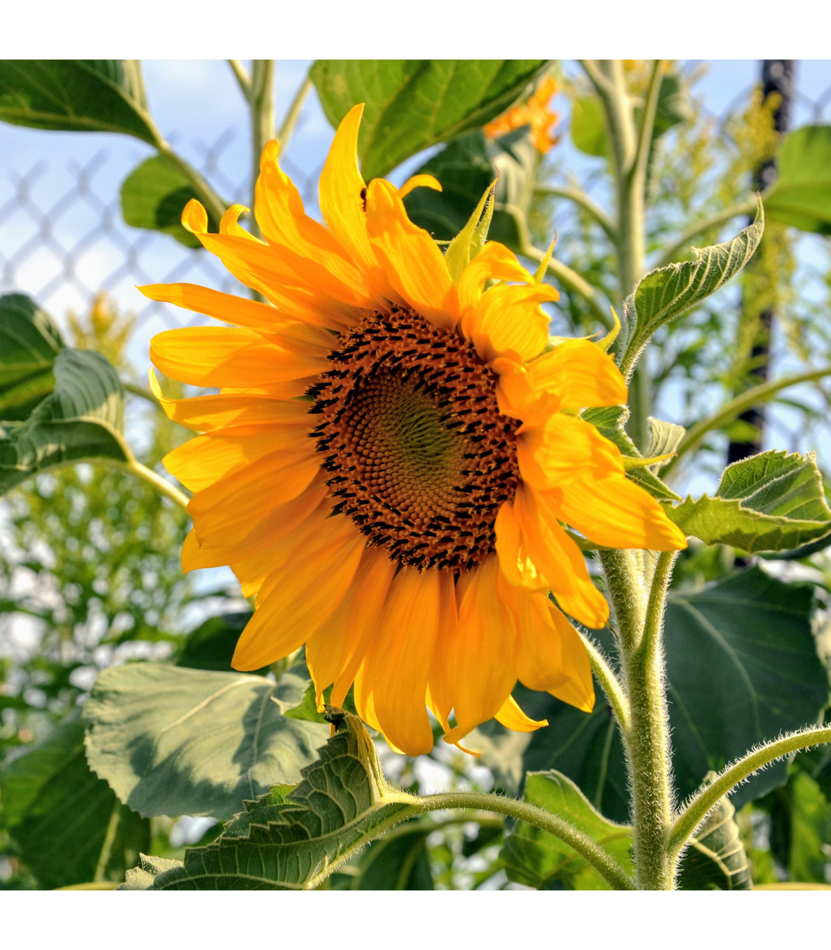 Slnečnica Topolino - semená slnečnice - Helianthus annuus - 7 ks