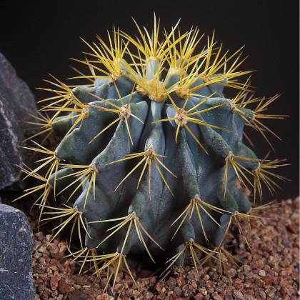 Ferokaktus - semena Ferokaktusu - 6 ks - Ferocactus