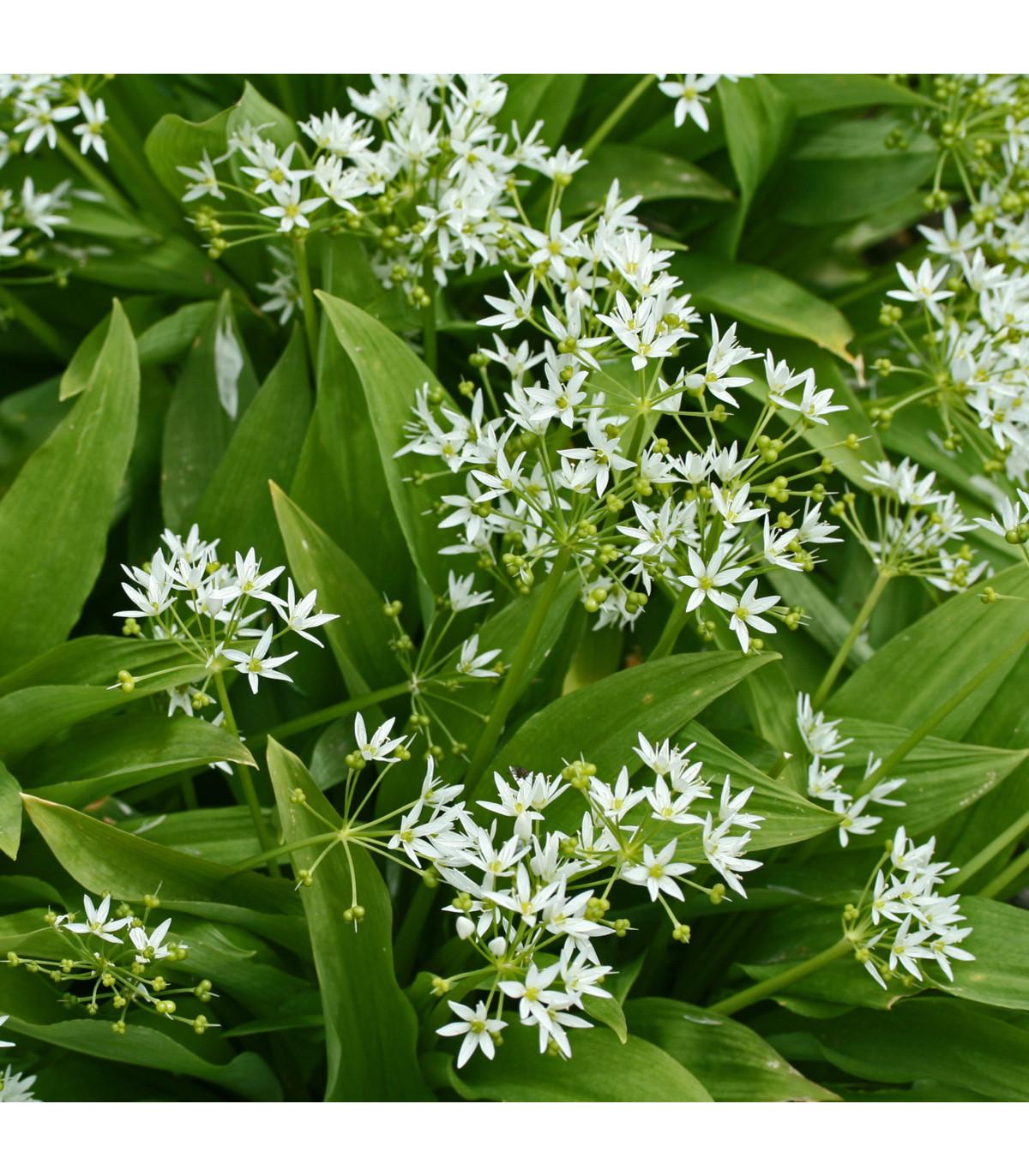 Medvedí cesnak - Allium ursinum - cibuľoviny - 3 ks