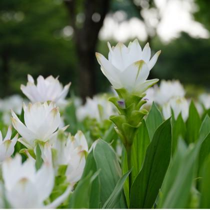 Kurkuma biela - koreň kurkumy - 1 ks - Curcuma alismatifolia