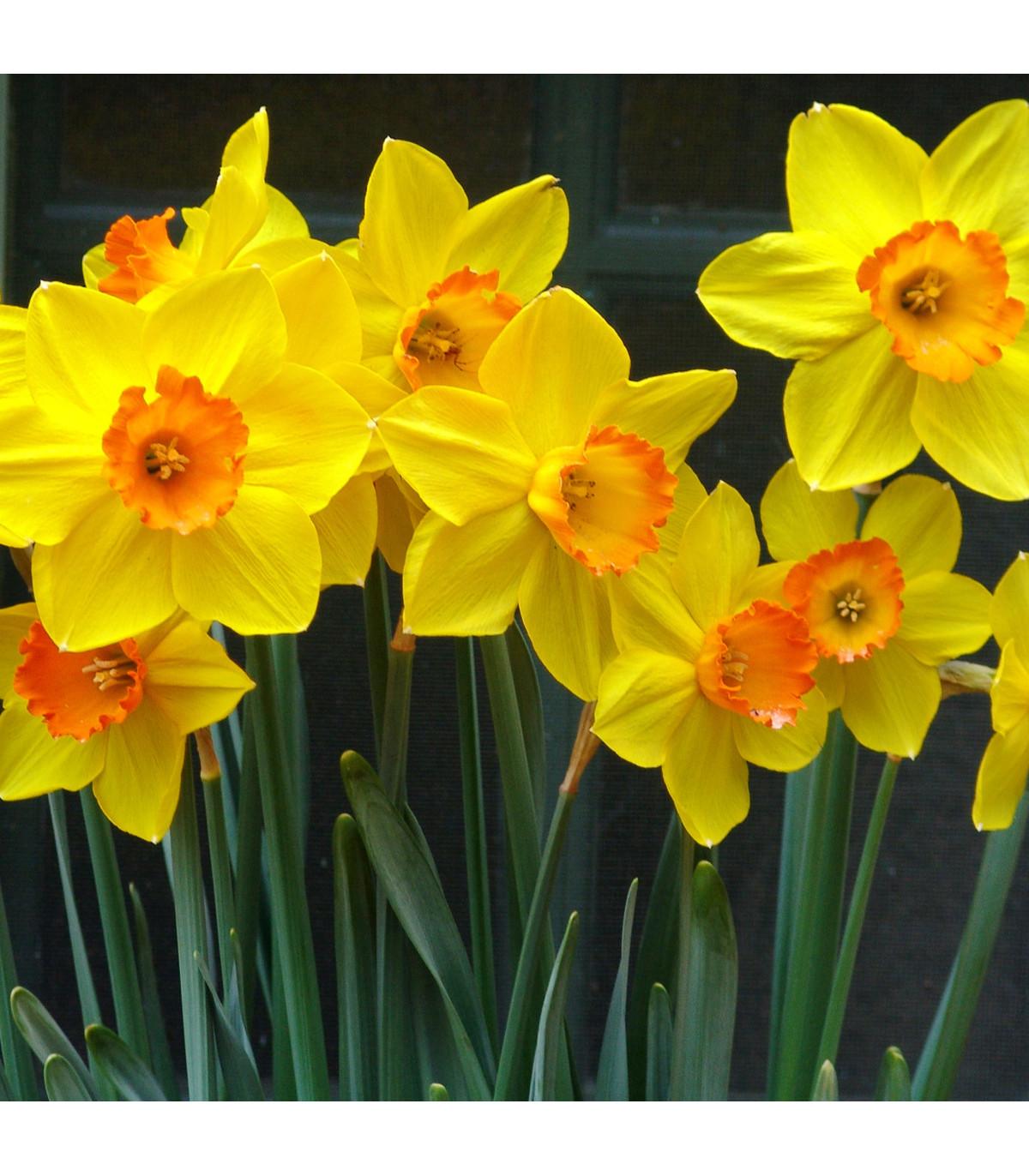 Narcis Jetfire - Narcissus - cibuľoviny - 3 ks