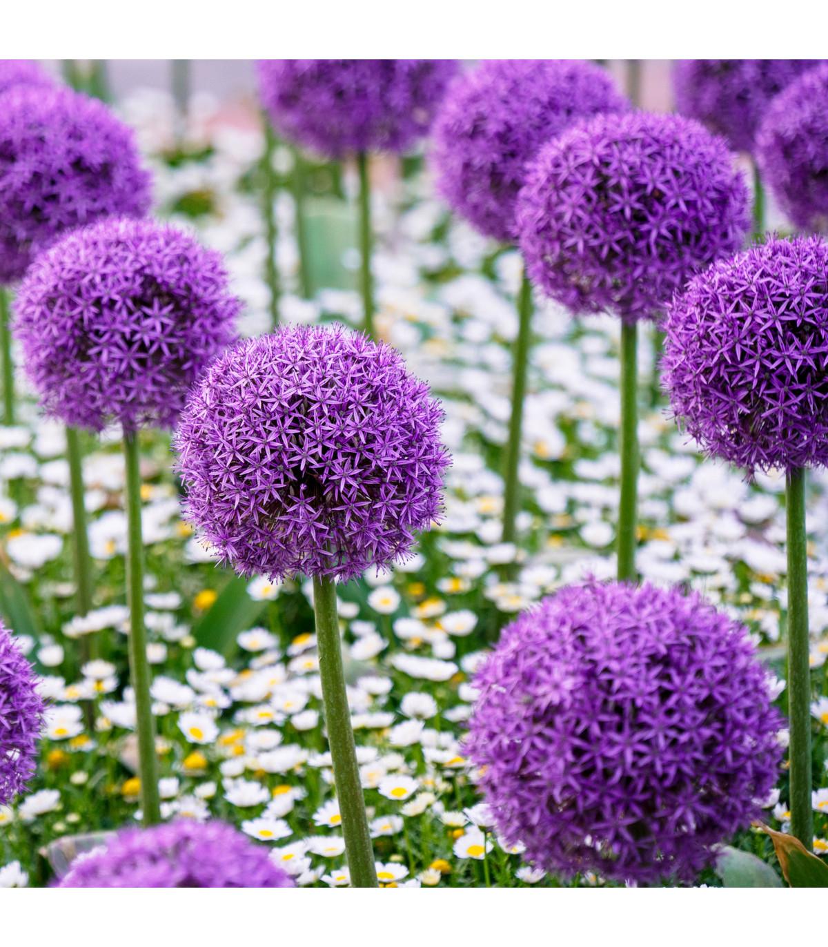 Okrasný cesnak Gladiator - Allium giganteum - cibuľoviny - 1 ks