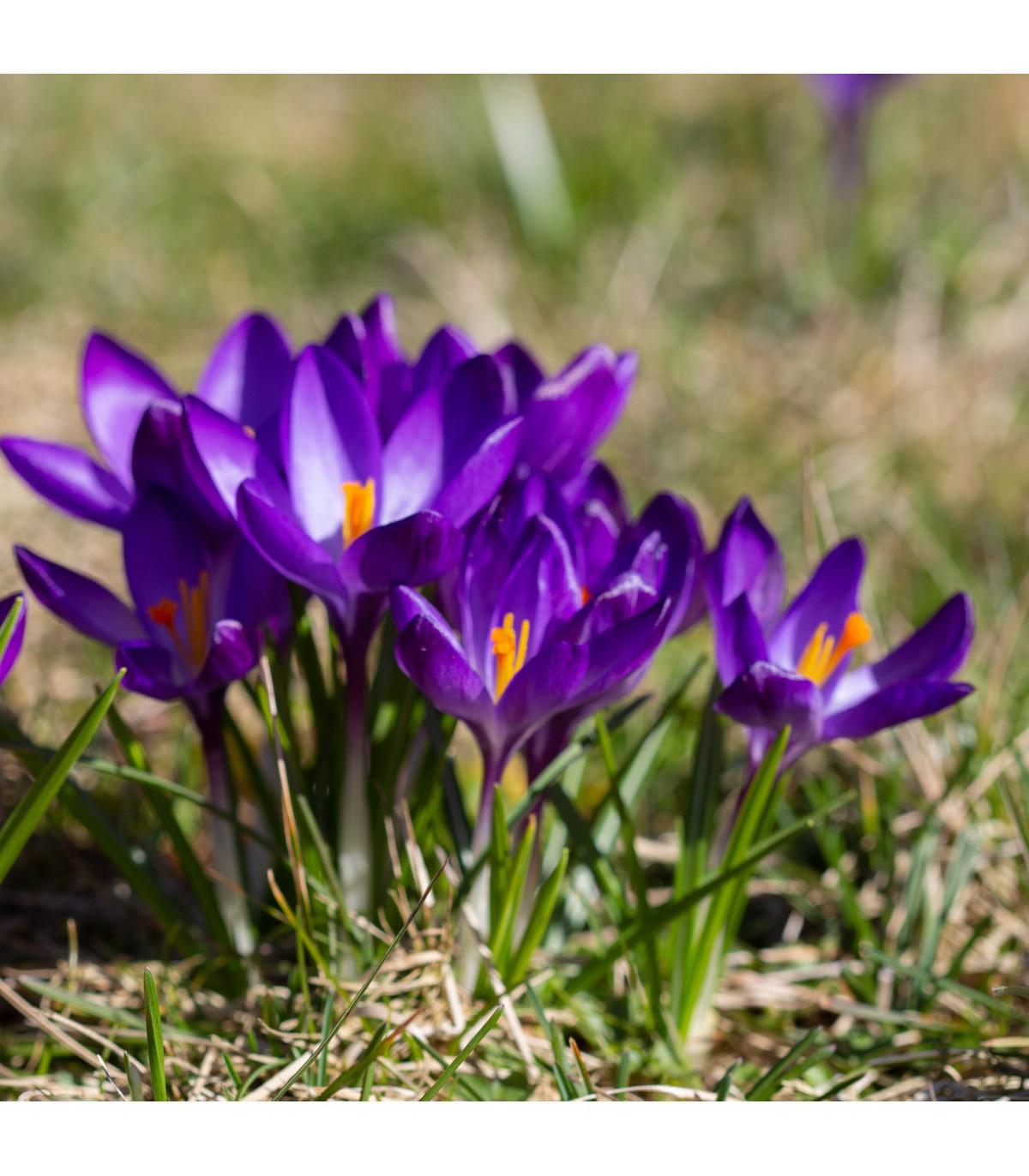 Šafran siaty - Crocus sativus - cibuľoviny - 3 ks