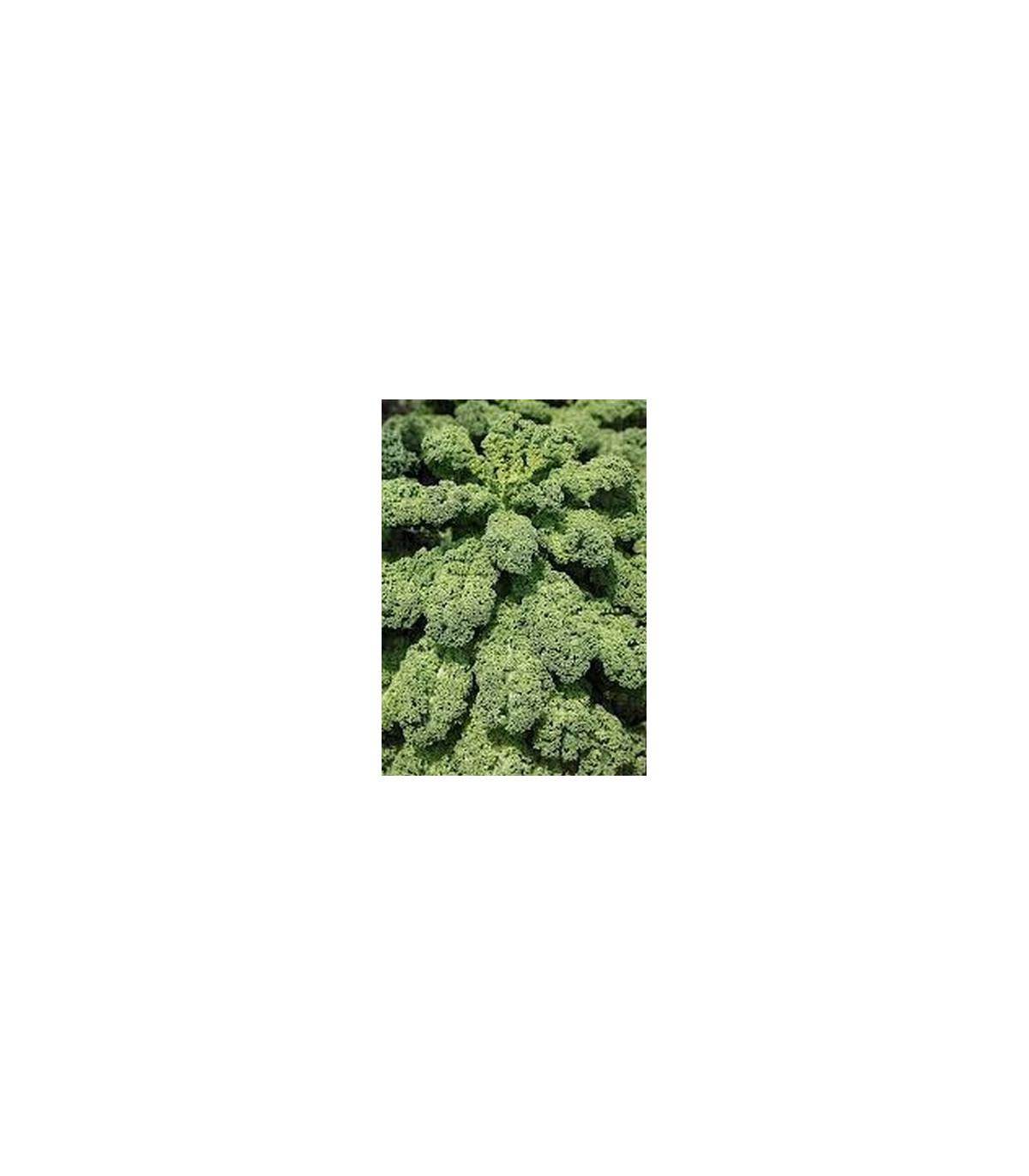 Kučeravý kel zelený stredne vysoký - semená Kelu - 0,9 gr
