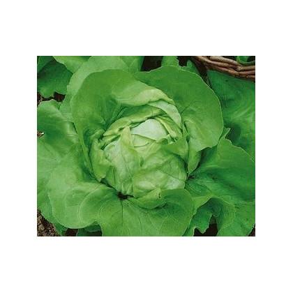 Šalát hlávkový Ovation - semená šalátu - Lactuca sativa - 0,5 gr