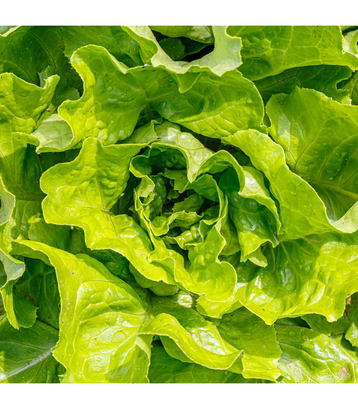 Šalát hlávkový Attractie - osivo šalátu - Lactuca sativa - 100 ks