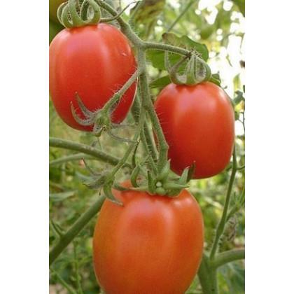 Paradajka Salus - kríčková - Solanum lycopersicum L. - predaj semien paradajok - 0,2 g