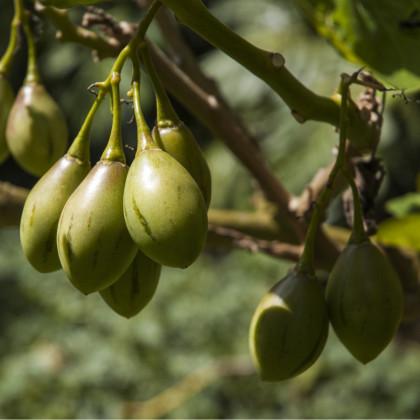 Pepíno gold - semena - 5 ks - Solanum muricatum