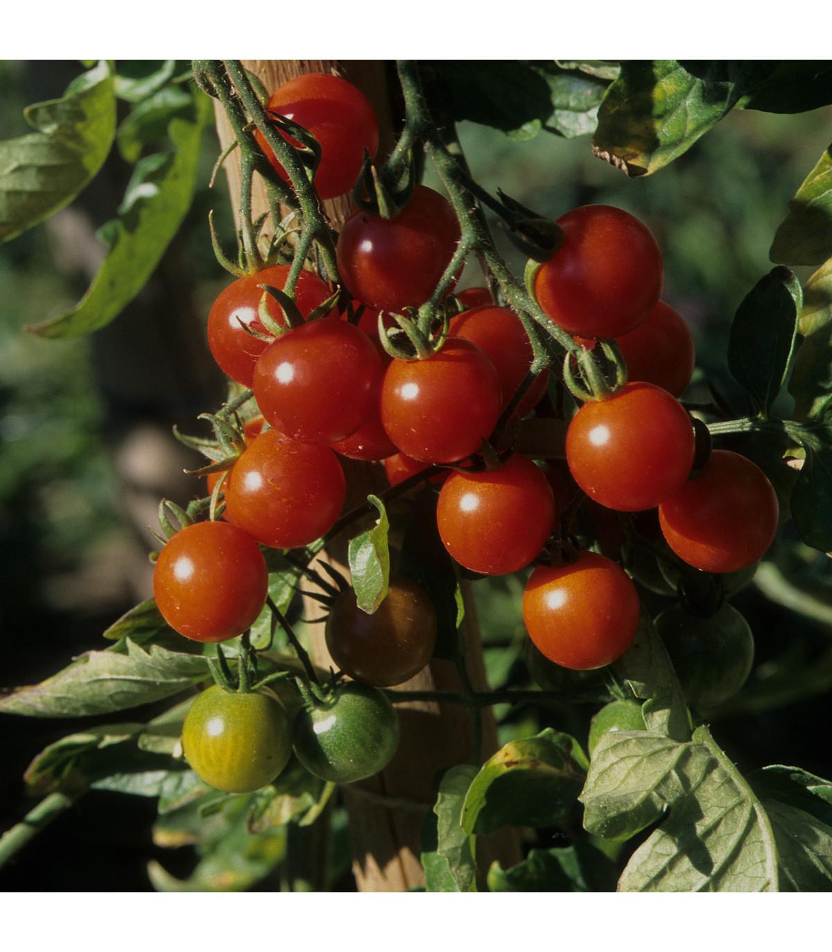 Previsnutá paradajka Tom Red - Lycopersicon Esculentum - semená previsnutých paradajok - 8 Ks