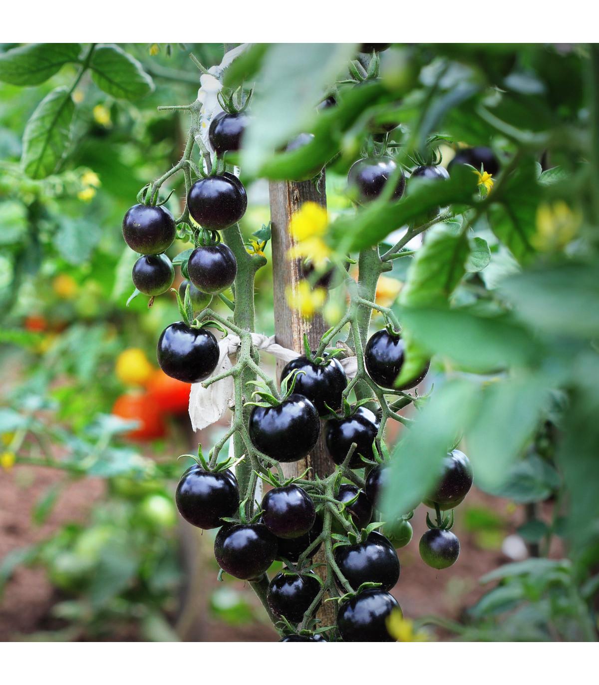 Paradajka Indigo Blue Berries - tyčková paradajka - Lycopersicon lycopersicum L. - predaj semien paradajok - 7 Ks
