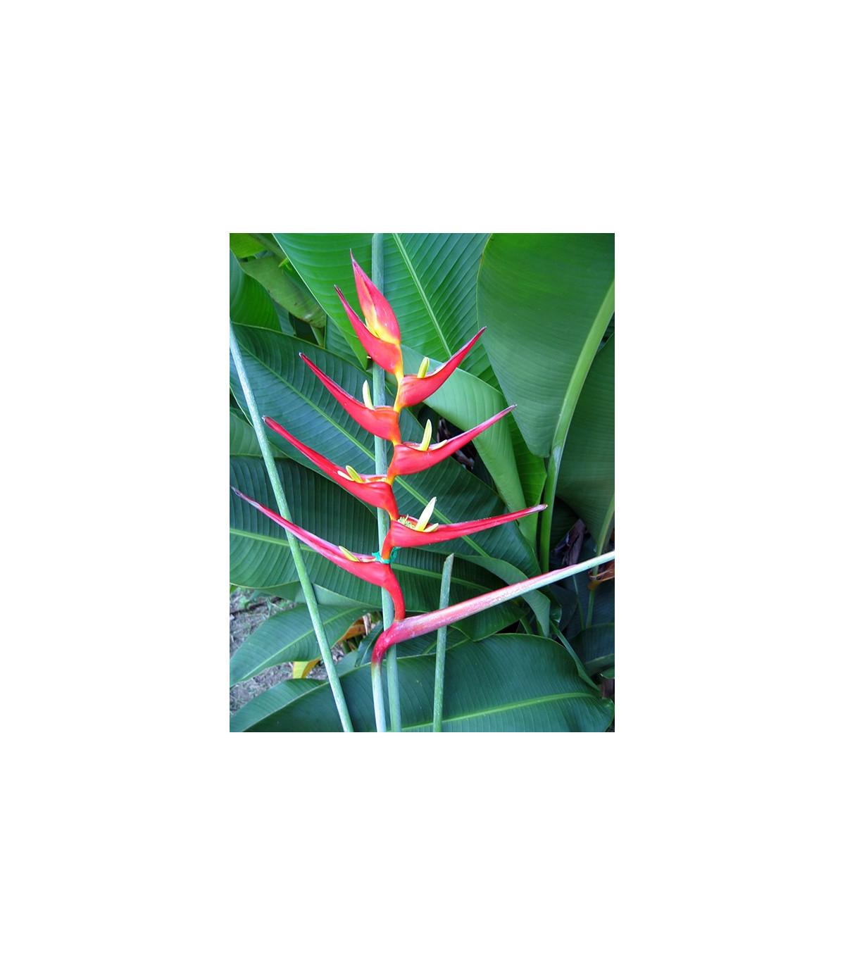 Helikónia farinosa červená - semená - 3 ks - Heliconia farinosa