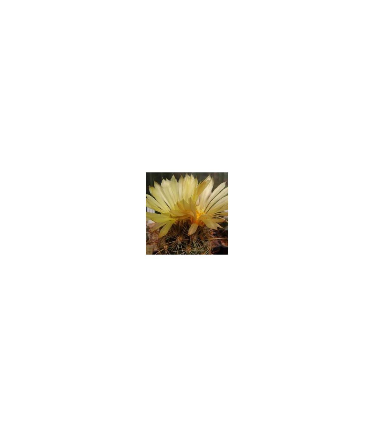 Kaktus - Coryphantha bergeriana - semená kaktusu - 5 ks