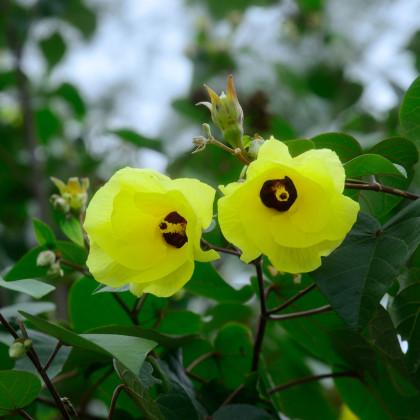 Ibištek lipovitý - semená - 10 ks - Hibiscus tiliaceus