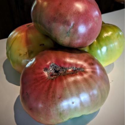 Rajče Cherokee - semena 7 Ks - Lycopersicon esculentum