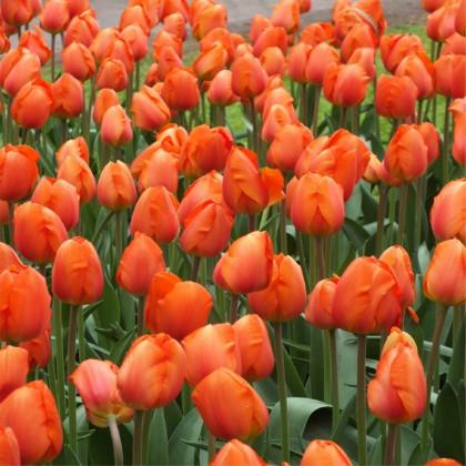 Tulipán Orange Brilliant - Tulipa - cibuľoviny - 3 ks