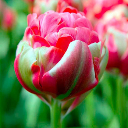 Tulipán Renown Unique - predaj cibuľovín - holandské tulipány - 3 ks