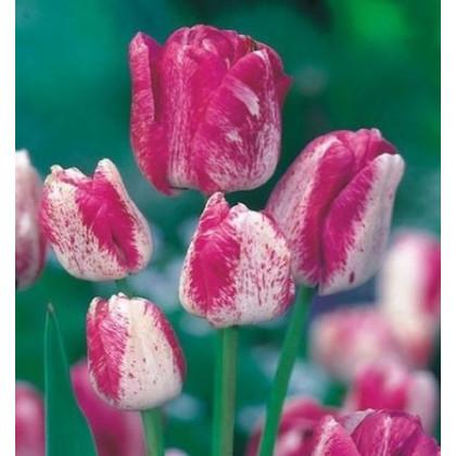 Tulipán Modern style - predaj cibuľovín - holandské tulipány - 3 ks