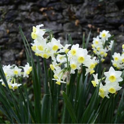 Narcis Minnow - Narcissus L. - cibuľoviny - 3 ks