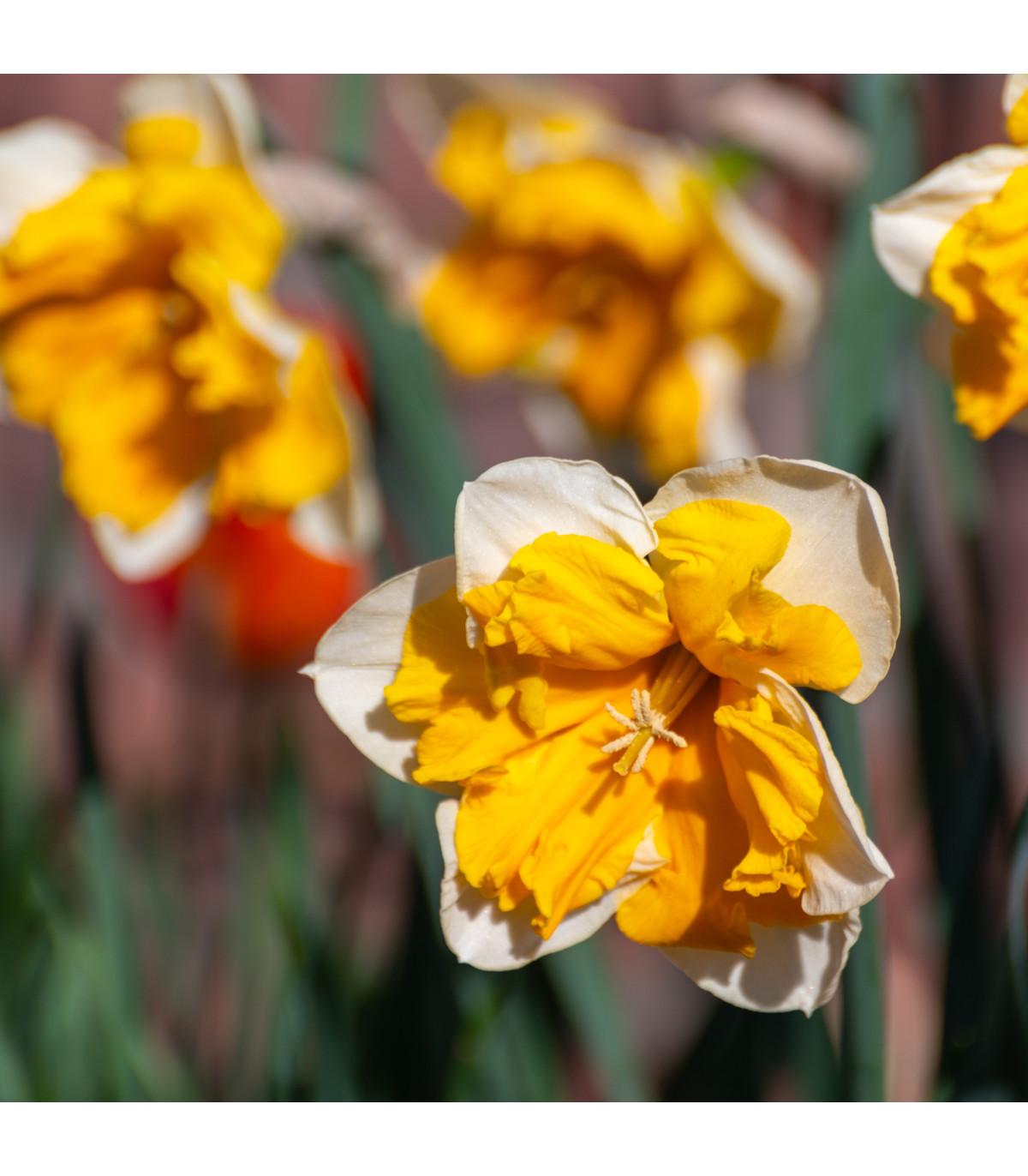Narcis Orangery - predaj cibuľovín - narcisy - 3 ks