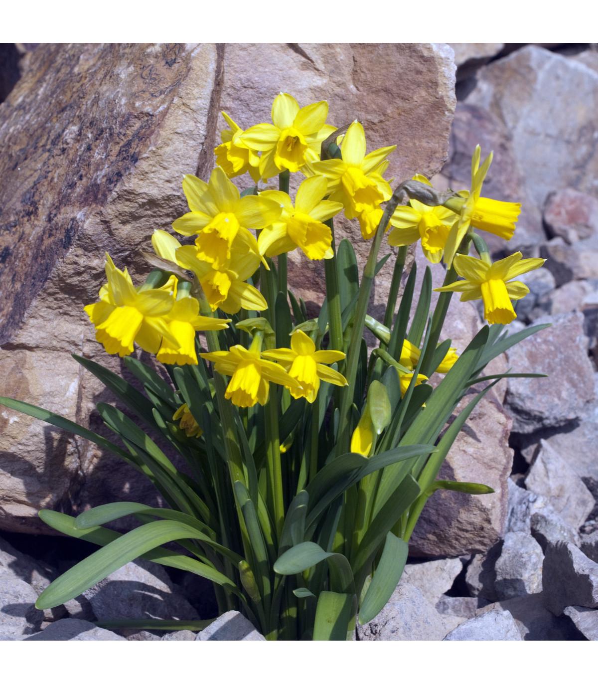 Narcis Tete a Tete - Narcissus L. - cibuľoviny - 3 ks