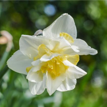 Narcis White Lion - Narcissus L. - cibuľoviny - 3 ks