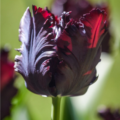 Tulipán Black Parrot - Tulipa - cibuľoviny - 3 ks