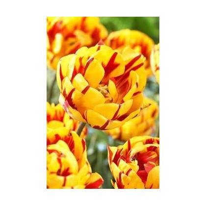 Tulipán Golden Nizza - predaj cibuľovín - holandské tulipány - 3 ks