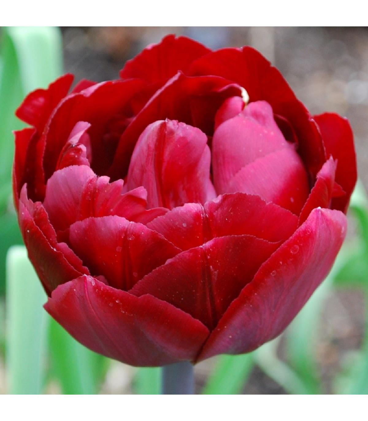 Tulipán Uncle Tom - Tulipa - cibuľoviny - 3 ks