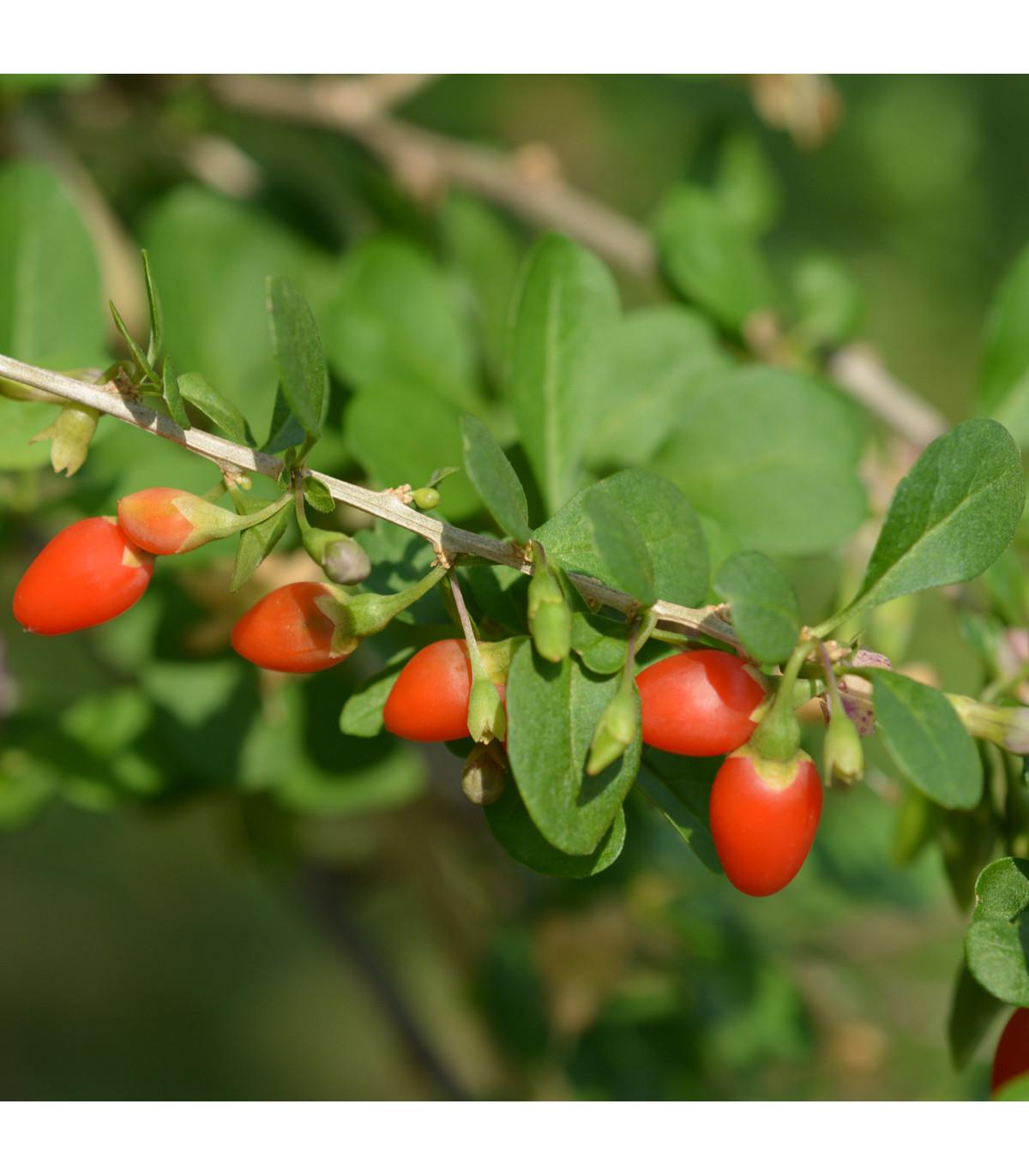 Kustovnica čínska - Goji - semená Goji - 5 ks - Lycium chinensis