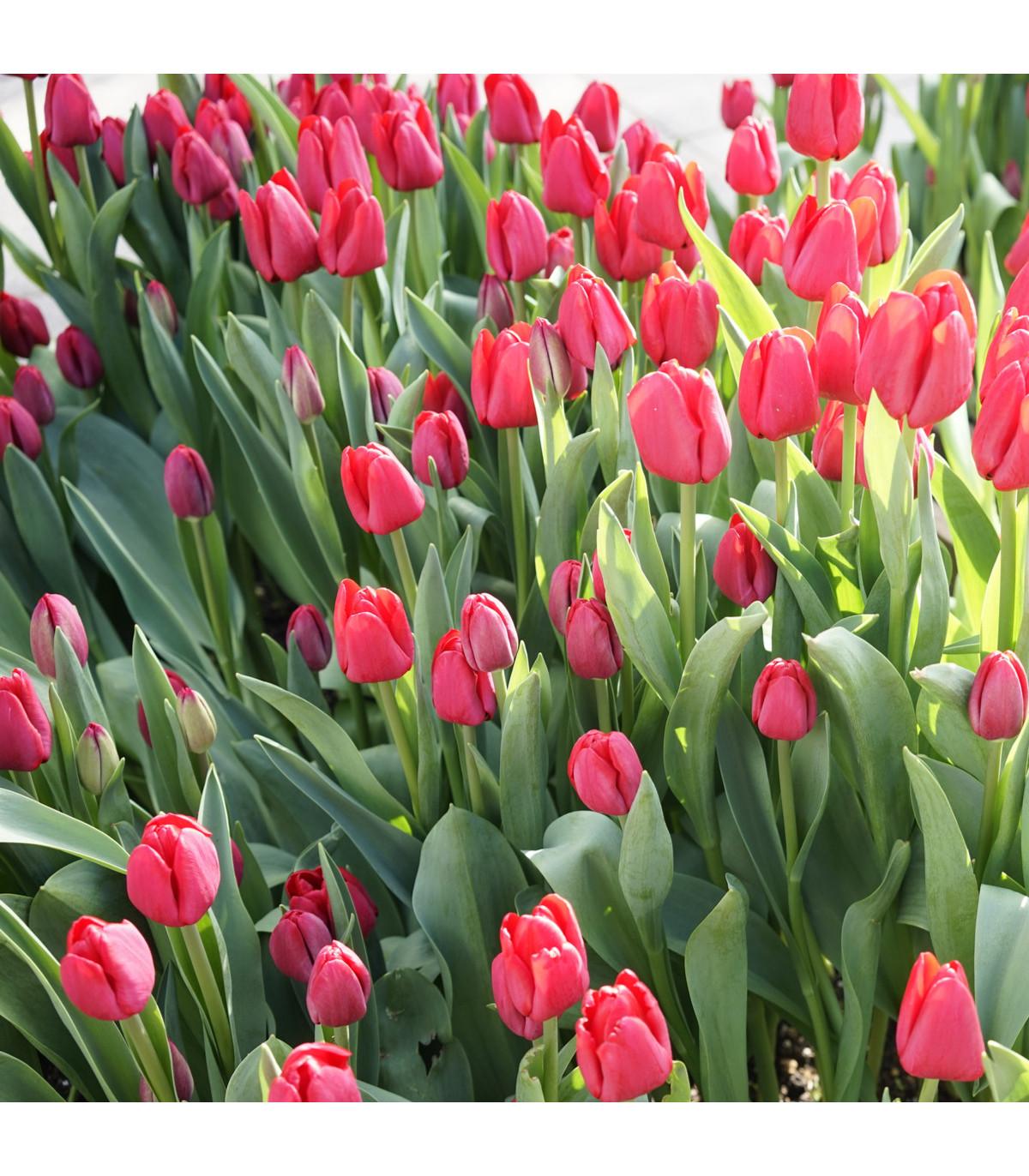 Tulipán Ile De France - Tulipa - cibuľoviny - 3 ks