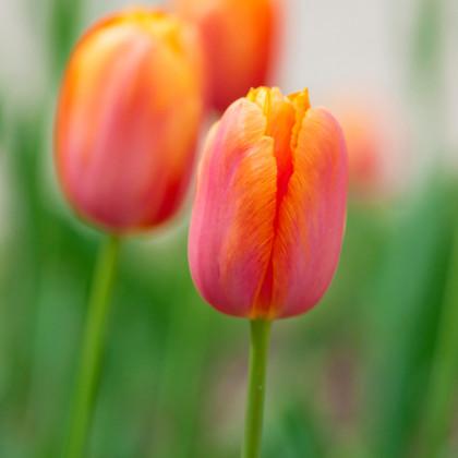 Tulipán Dordogne cibule - predaj cibuľovín z Holandska - 3 ks
