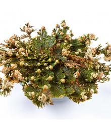 Ruža z Jericha - Selaginella lepidophylla - 1 ks