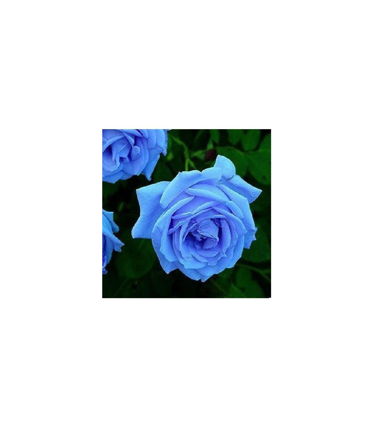Ruža popínavá svetlomodrá - Rosa - predaj semien ruží - semená - 5 ks
