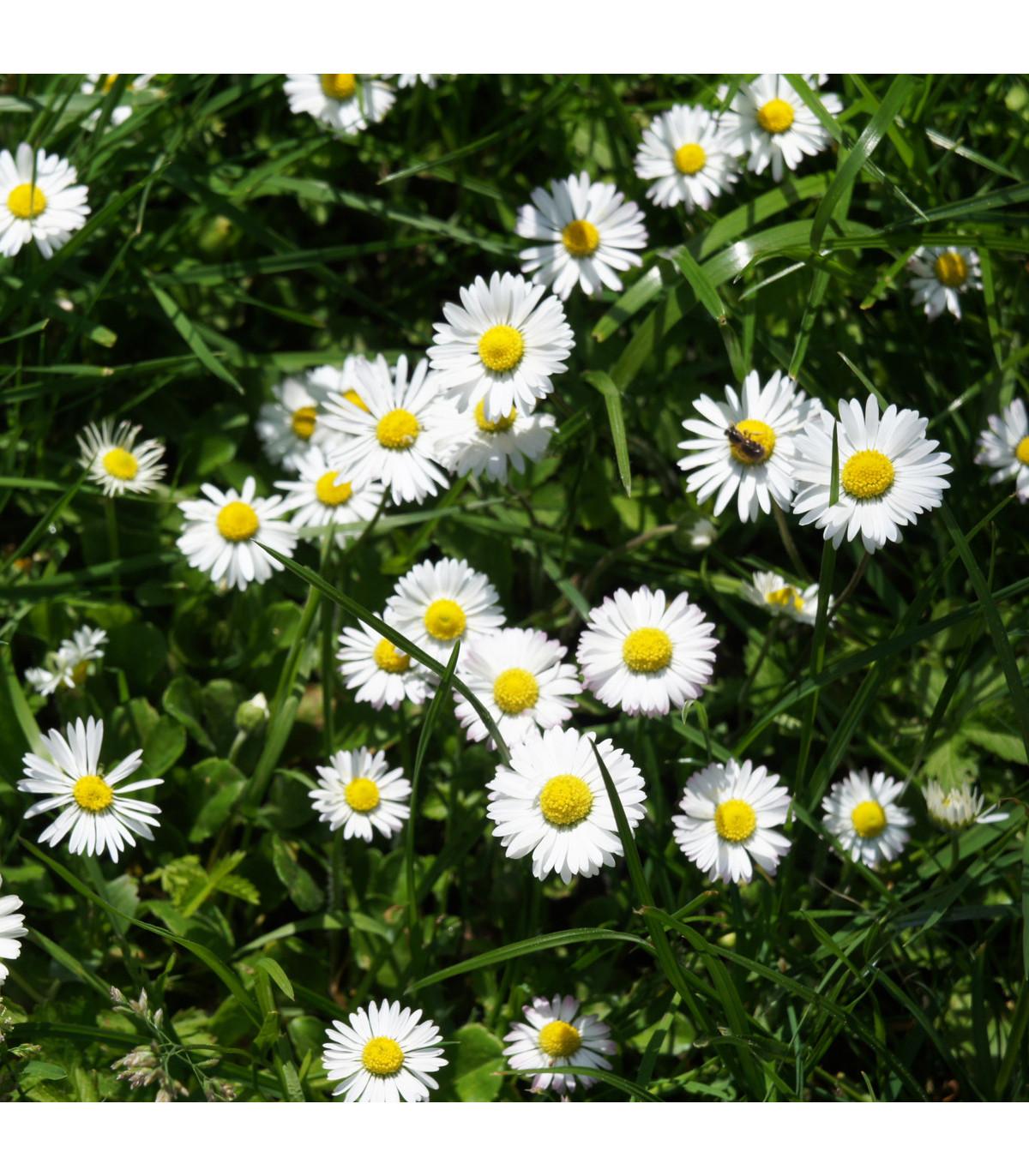 Sedmokráska jednoduchá biela - Bellis perennis - predaj semien sedmokrásky - 0,1 g