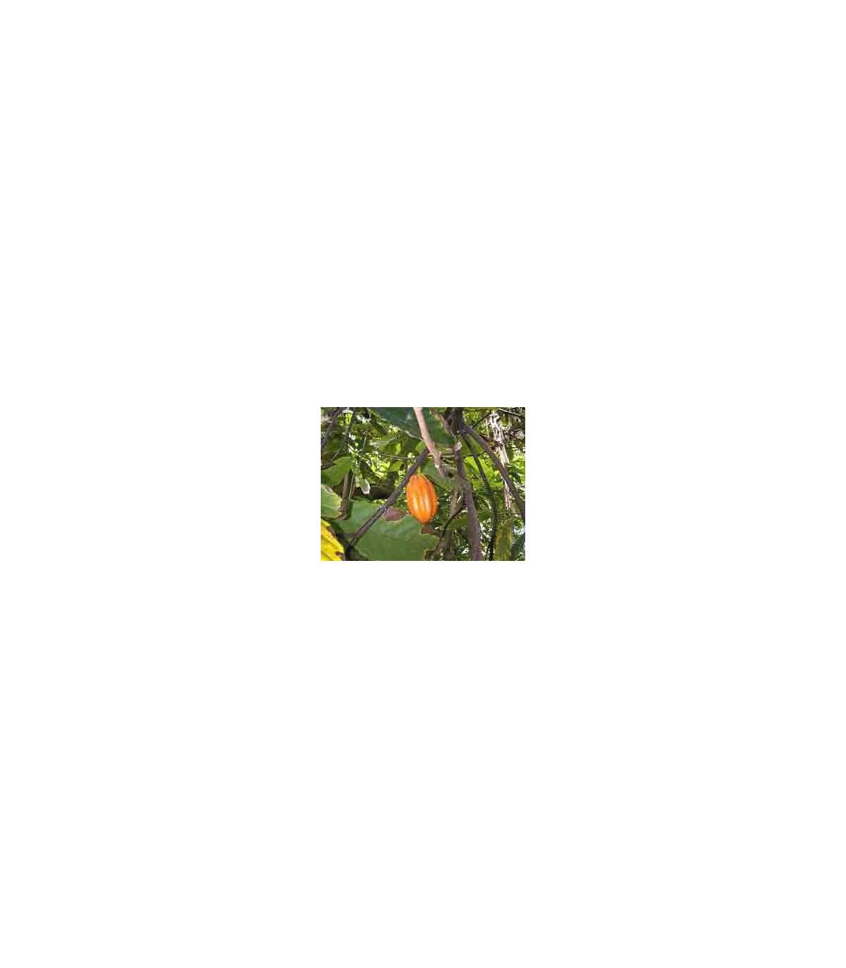Kakaovník pravý - semena Kakaovníku - 5 ks - Theobroma cacao