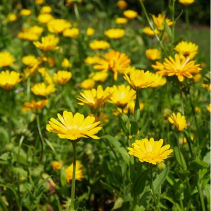 Nechtík lekársky žltý - semená nechtíka - Calendula officinalis - 30 ks