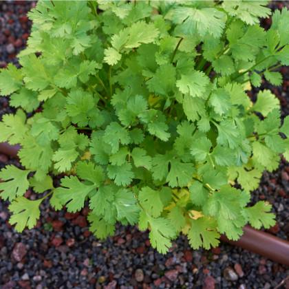 Koriander Santo - semená koriandra - Coriandrum sativum - 100 ks