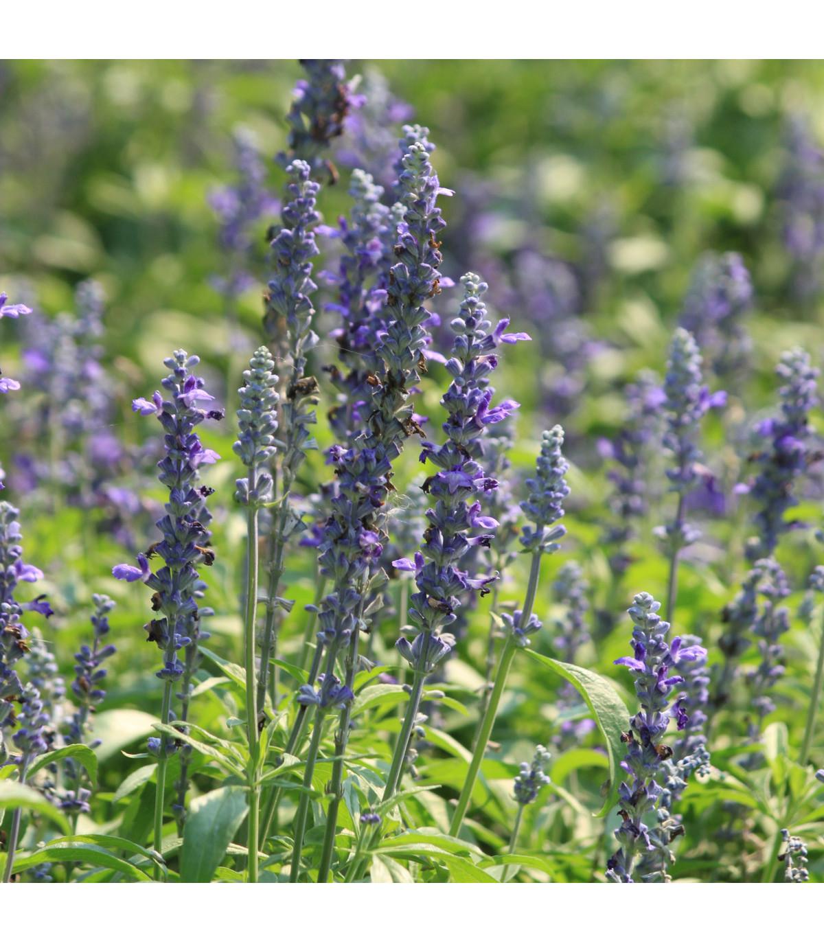 BIO Levanduľa lekárska - bio semená - 50 Ks - Lavandula angustifolia