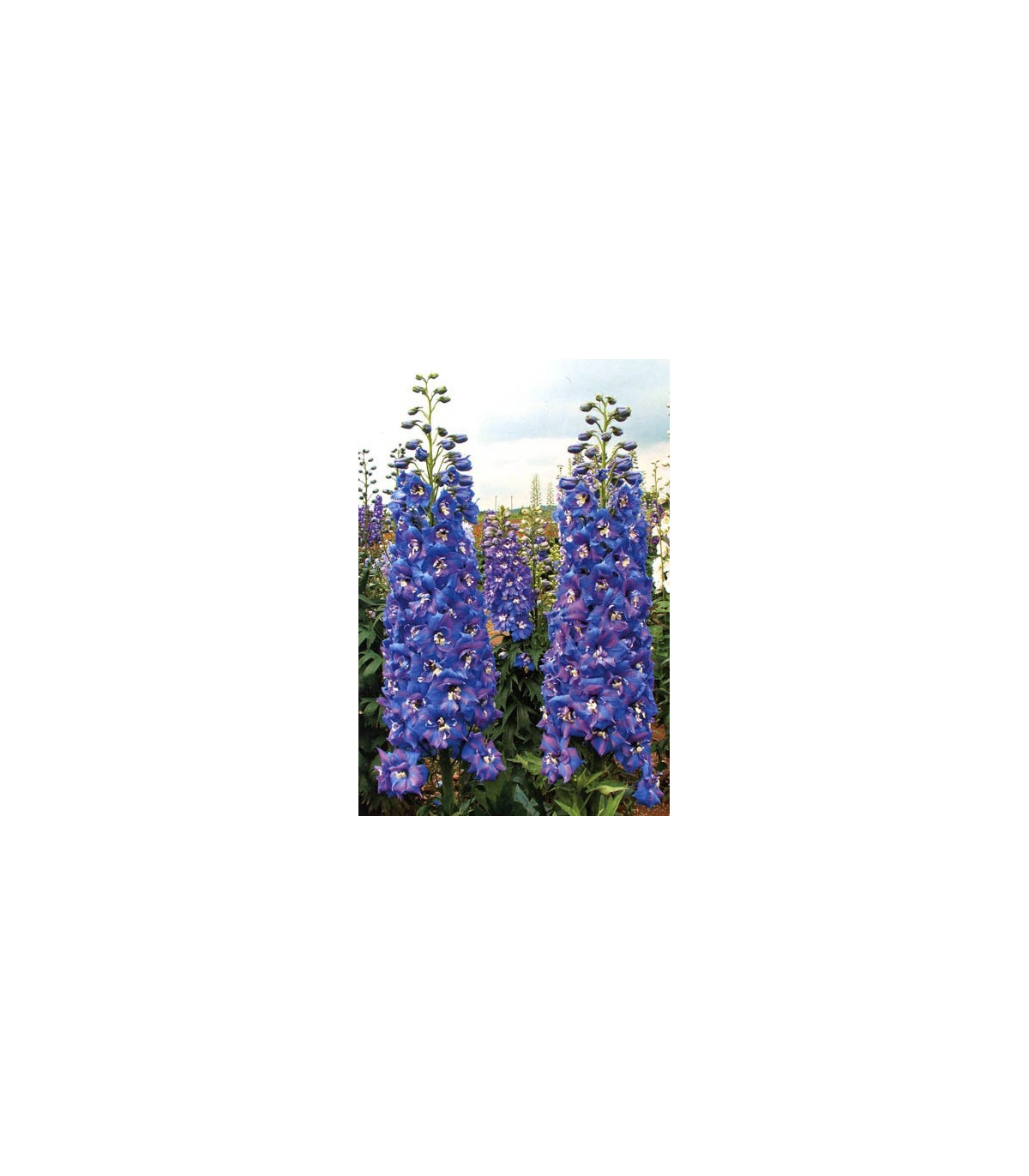 Stračka - semena Stračky - 50 ks - Deplhinium cultorum