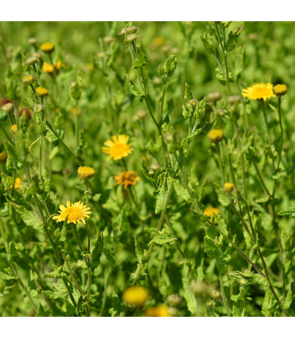 Blšník obyčajný - semená - 50 ks - Pulicaria vulgaris