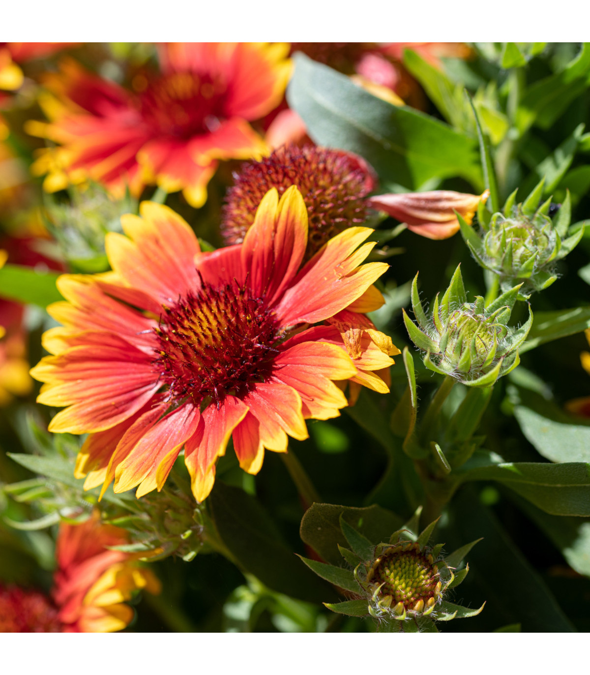 Kokarda jednoduchá - zmes farieb -  semená trvaliek - Gaillardia pulchella - 70 ks