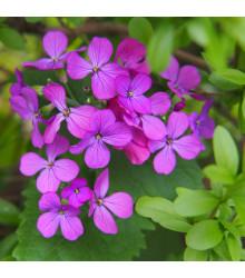 Mesačnica ročná fialová Honesty - Lunaria annua - predaj semienok dvojročiek - 0,8 gr