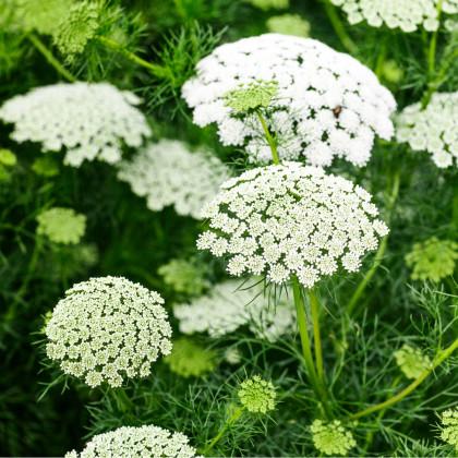 Parasca väčšia - semená - 0,2 gr - Ammi majus