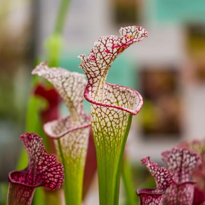 Špirlica bielolistá - semená - 12 ks - Sarracenia leucophylla