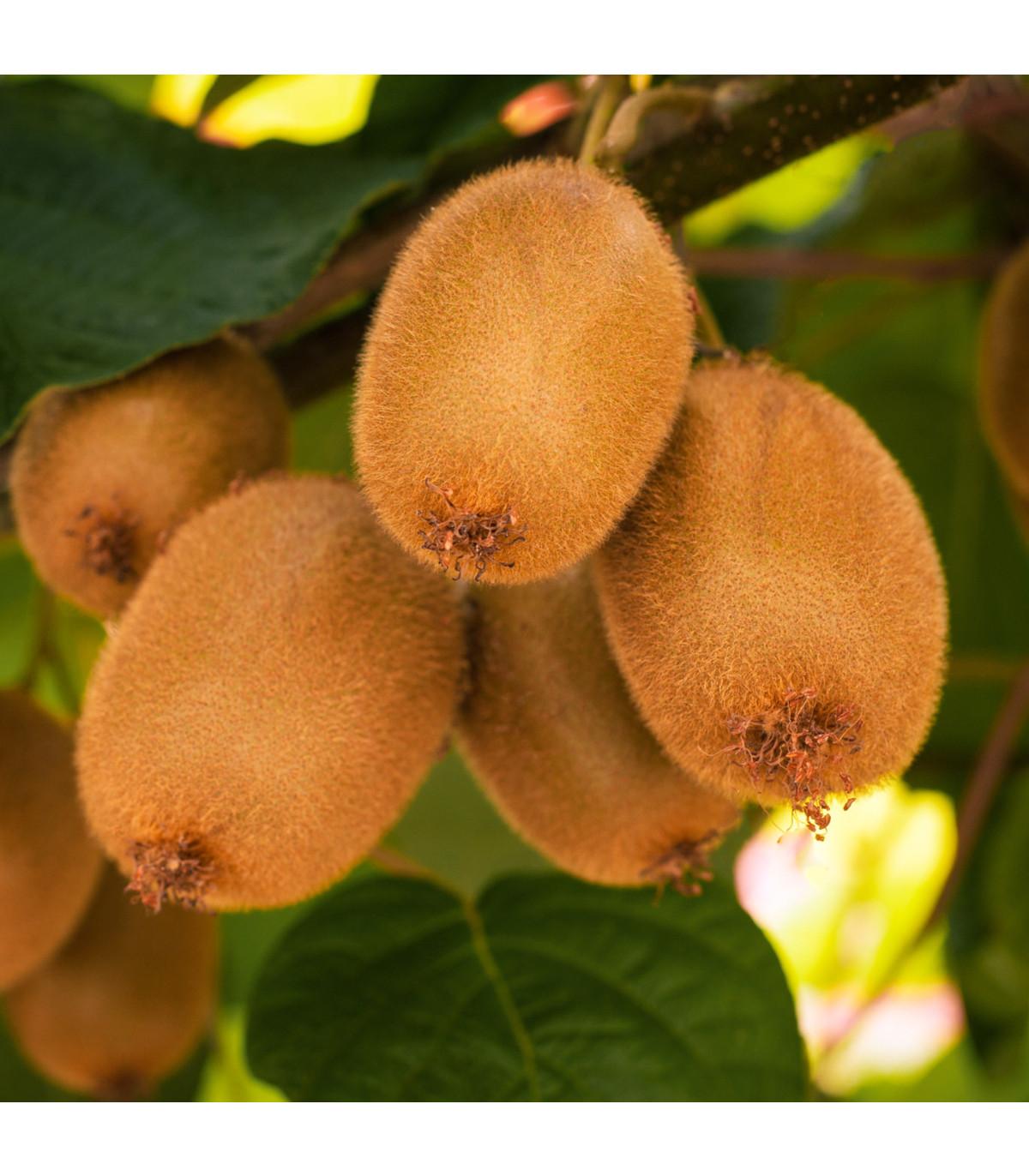 Kiwi čínske - Aktinídia - semená kiwi - Actinidie chinensis - 5 ks